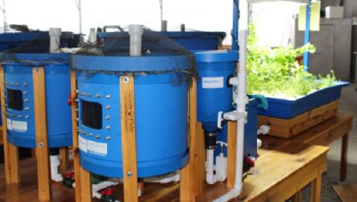 Small-Fry clear flow aquaponic system