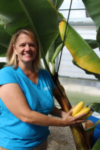 Bananas grown in aquaponics