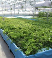 Indoor Lettuce Farming is Booming!