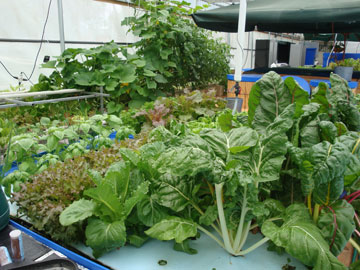 We Have Grown All Kinds Of Vegetables In Our Clear Flow Aquaponic SystemsR Including Cucumbers Beans Peas Tomatoes Peppers Corn Radishes Beets