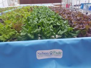 Aquaponic MicroFarm 2 lettuce raft
