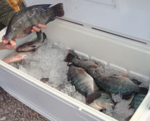 Family-Plus-tilapia-harvest