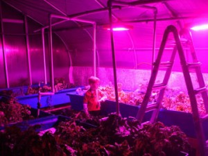 Family-Plus-with-LED-grow-lights at Dible Diversified Farm