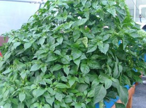Family-Plus-with-basil-at-Dible Diversified Farm